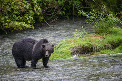 Grizzly landscape. A grizzly bear pauses in a creek.  Tongass national forest, Alaska Stock Image