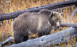 Grizzly locha Fotografia Royalty Free