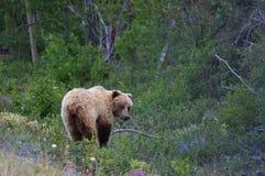 Grizzly lochy chrupanie na dzikich kwiatach zdjęcia royalty free
