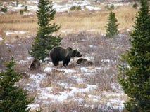 Grizzly met twee welpen Stock Afbeelding
