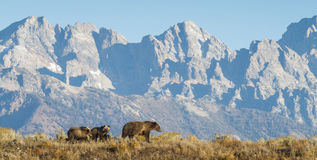Grizzly mom and cubs walking in front of rocky mountains Royalty Free Stock Photos