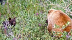 Grizzly mom with her cub stock photos