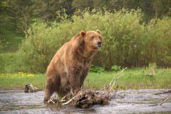 Grizzly in montana. Grizzly bear in river montana Stock Photos