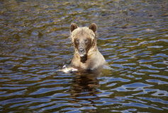 Grizzly mother eating salmon Stock Photography