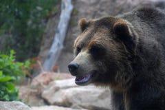 Grizzly in Natuurlijk Milieu Stock Foto's