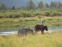 Grizzly niedźwiedź chodzi brzeg po pływania w basenie obraz stock