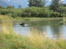 Grizzly niedźwiedź pływa w basenie obraz royalty free