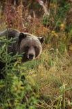 grizzly niedźwiadkowa samiec obrazy royalty free