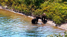 Grizzly Niedźwiadkowego Cubs lodowa park zbiory