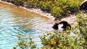 Grizzly Niedźwiadkowego Cubs lodowa park zbiory wideo