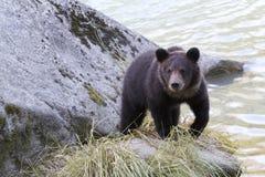 Grizzly niedźwiadkowy lisiątko na skale wzdłuż Chilkoot rzeki zdjęcia stock