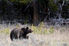 Grizzly niedźwiadkowy lisiątko przylega matki noga zdjęcie stock