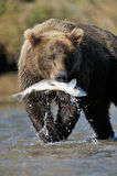 Grizzly Niedźwiedź Obraz Royalty Free