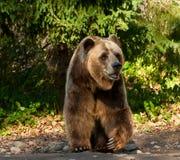 Grizzly Niedźwiedź Fotografia Stock