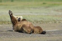 Grizzly niedźwiedź Obraz Stock