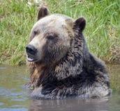 Grizzly niedźwiedź Obrazy Royalty Free