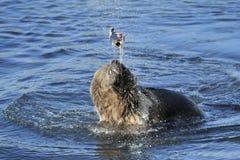 Grizzly niedźwiedź bawić się z złapaną ryba Fotografia Stock