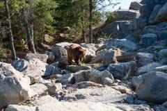 Grizzly niedźwiedź chodzi na skałach Zdjęcia Stock