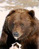 Grizzly niedźwiedź Je Vertical zdjęcia stock