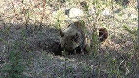 Grizzly niedźwiedź kopie dla sukulentu zakorzenia w Yukon terytorium zdjęcie wideo