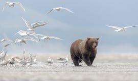Grizzly niedźwiedź opuszcza a, w pełni jedzącego, łosoś seagulls fotografia stock