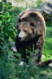 Grizzly niedźwiedź patrzeje dla jedzenia Fotografia Stock
