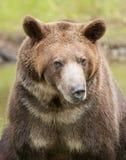 Grizzly niedźwiedź patrzeje fotografa fotografia stock