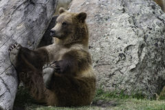 Grizzly niedźwiedź siedzi mnie ` s cieki i trzyma Fotografia Stock