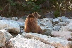 Grizzly niedźwiedź siedzi na skałach Zdjęcia Royalty Free