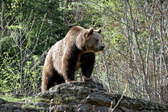Grizzly niedźwiedź stoi na skale Fotografia Stock