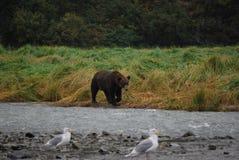 Grizzly niedźwiedź w Alaska Zdjęcia Royalty Free
