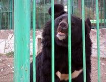 Grizzly niedźwiedź w klatce zdjęcie stock