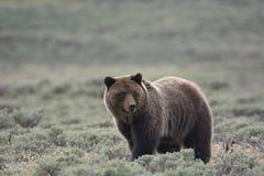 Grizzly niedźwiedź w Yellowstone parku narodowym zdjęcia royalty free