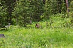 Grizzly niedźwiedź w zielonej trawy łące Zdjęcia Royalty Free
