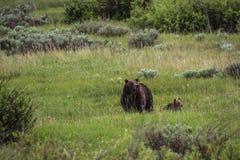 Grizzly niedźwiedź z lisiątkiem obrazy stock
