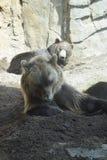 Grizzly niedźwiedzi Relaksować Fotografia Royalty Free