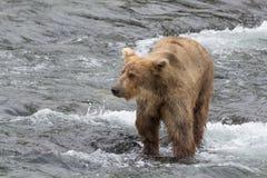Grizzly niedźwiedzia chwyty łososiowi w płytkim nawadniają przy bazą siklawa Alaska - strumyków spadki - zdjęcie stock