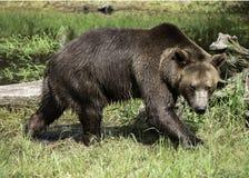 Grizzly niedźwiedzia postawa obraz stock