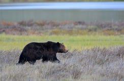 Grizzly niedźwiedzia samiec, Yellowstone park narodowy zdjęcia royalty free
