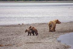 Grizzly niedźwiedzie Katmai NP obraz royalty free