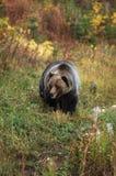 grizzly niedźwiadkowa samiec Obrazy Stock