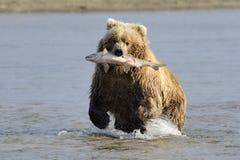 Grizzly niedźwiedź Zdjęcie Stock