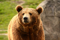 Grizzly niedźwiedzia zbliżenie głowa Zdjęcia Stock