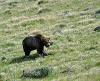 grizzly odprowadzenie Fotografia Stock