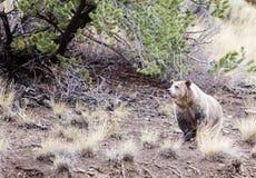Grizzly onder pijnboomboom royalty-vrije stock fotografie