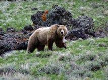 Grizzly op de rotsen Stock Foto