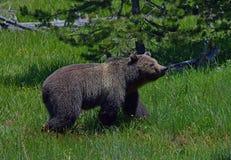 Grizzly op een de zomermiddag royalty-vrije stock foto