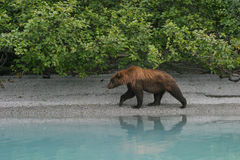 Grizzly op oever Stock Afbeelding