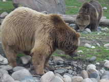 Grizzly Pair Stock Photos