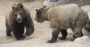 A Grizzly Pair Prepare to Face Off Stock Photography